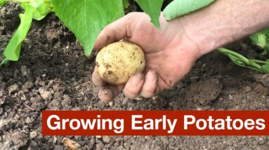 Growing Early Potatoes in 5 Different Gardens