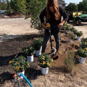 Planting Heliopolis & Harvesting Artichokes to Dry! 🌼💜 // Garden Answer