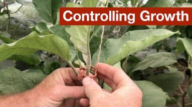Controlling Growth in the Polytunnel