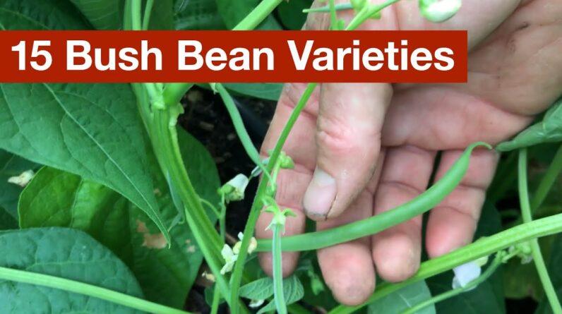 15 Bush Bean Varieties