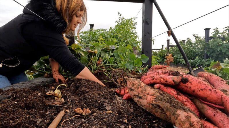 Project Updates, Amazing Sweet Potato/Ornamental Corn Harvest & Tree Pruning! 🙌🌳🌽 // Garden Answer