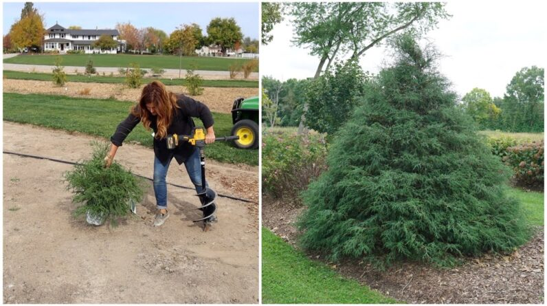 Planting A 'Haywire' Cypress & 'Skinny Fit' Gingko! 🌳🌿🌲 // Garden Answer